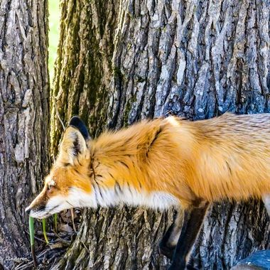 Female Red Fox on the hunt