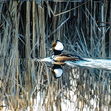 Love the reflection on this photo of a Hooded Merganser in the morning light