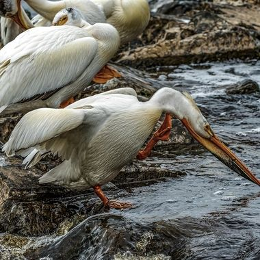 White pelican on the Rapid River taking care of an itchy neck