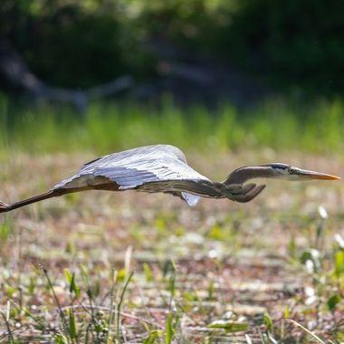 Grand Heron 31-05-2021-6