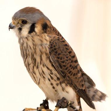 Female Kestrel Falcon