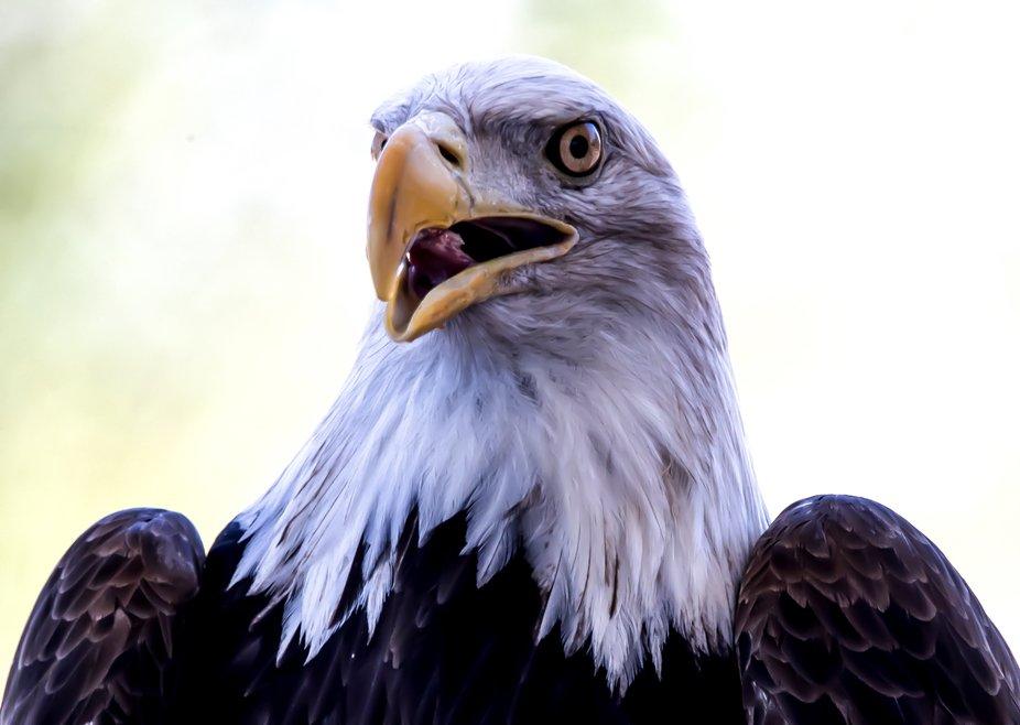 Bald Eagle Bald Eagle -  Liberty Wildlife, 2600 East Elwood Street Phoenix Az www.libertywildlife...