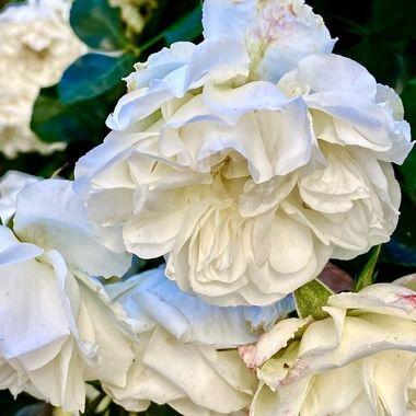 White rose!