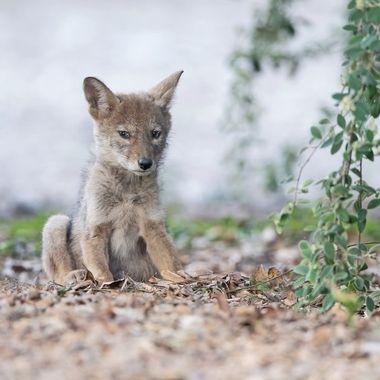 Coyote pup DSC09899