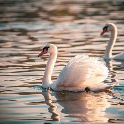 Swans in Evening Sun