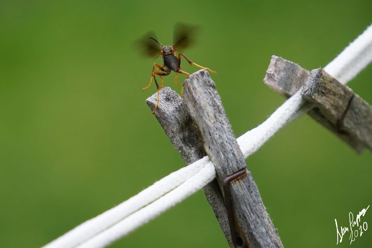 Wasp getting ready for flight. Notice, the wings start before actually taking flight. Pic 2 of 3