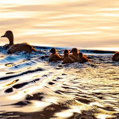 A Mallard Duck and her brood out for an evening swim. Moe than likely looking for an evening resting place!
