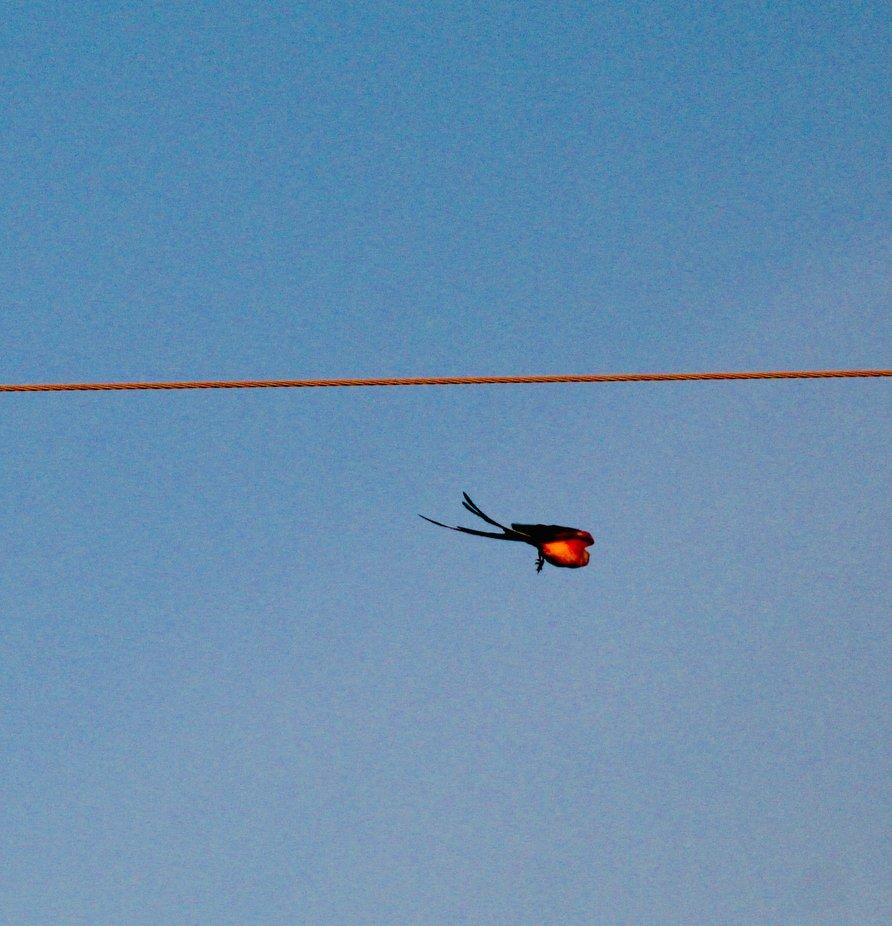 A scissortail flycatcher in Oklahoma