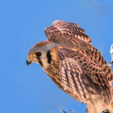 Kestrel Falcon (female)