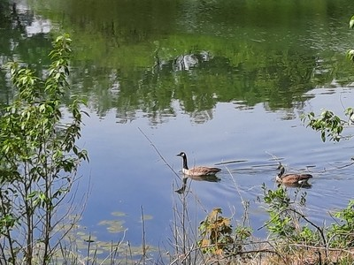 Two Geese Swimming