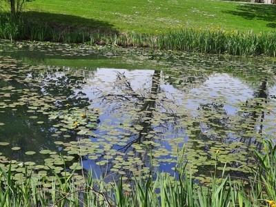 Lily pads at Lake Sacajawea