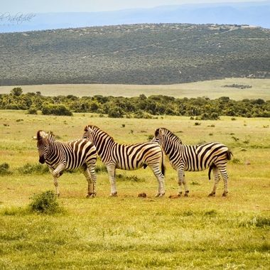 a Group of zebras in Addo national park.