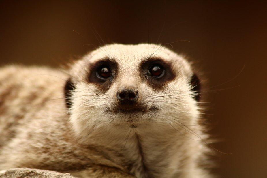 Meerkat at Exmoor Zoo