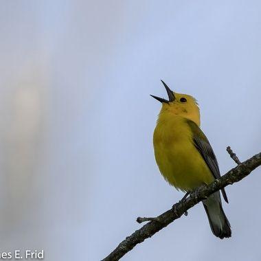 Prothonotary Warbler singing  DSC_4410-Edit