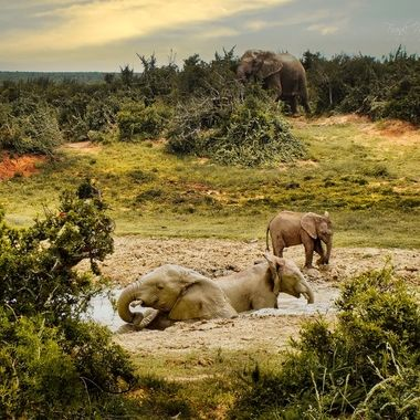 Elephants doing skin protection in Addo Park