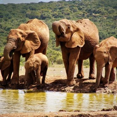 Group of elephants with Calws on a water hole