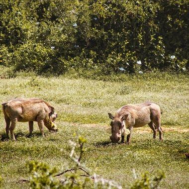 Warthocks in Addo Park