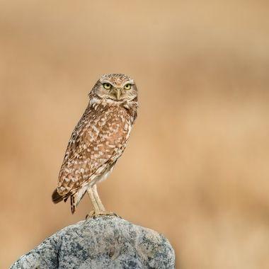 Burrowing Owl-