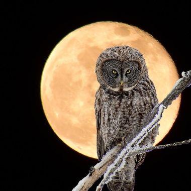 Frosty Great Grey Owl photo Overlay on Full Super moon