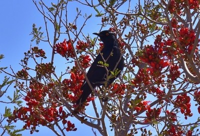 Red-winged Starling in Cancer bush