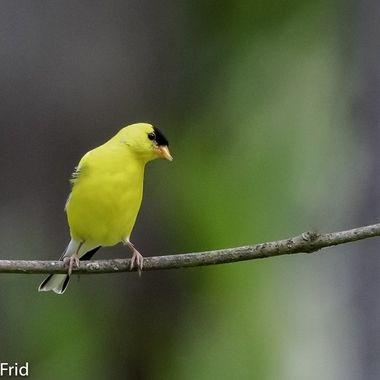 American Goldfinch  20210608 - Jim Frid - 66