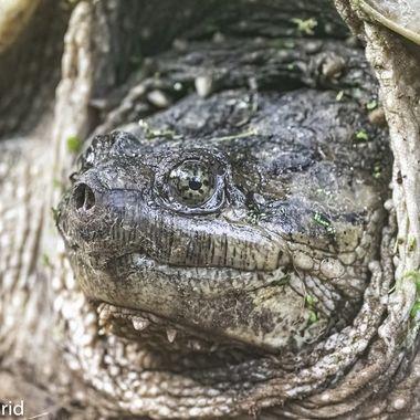 Snapping Turtle  20210608 - Jim Frid - 36-Edit