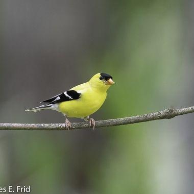 American Goldfinch  20210608 - Jim Frid - 62-Edit