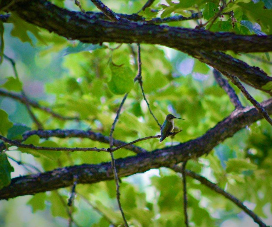 A hummingbird taking a break on a limb.