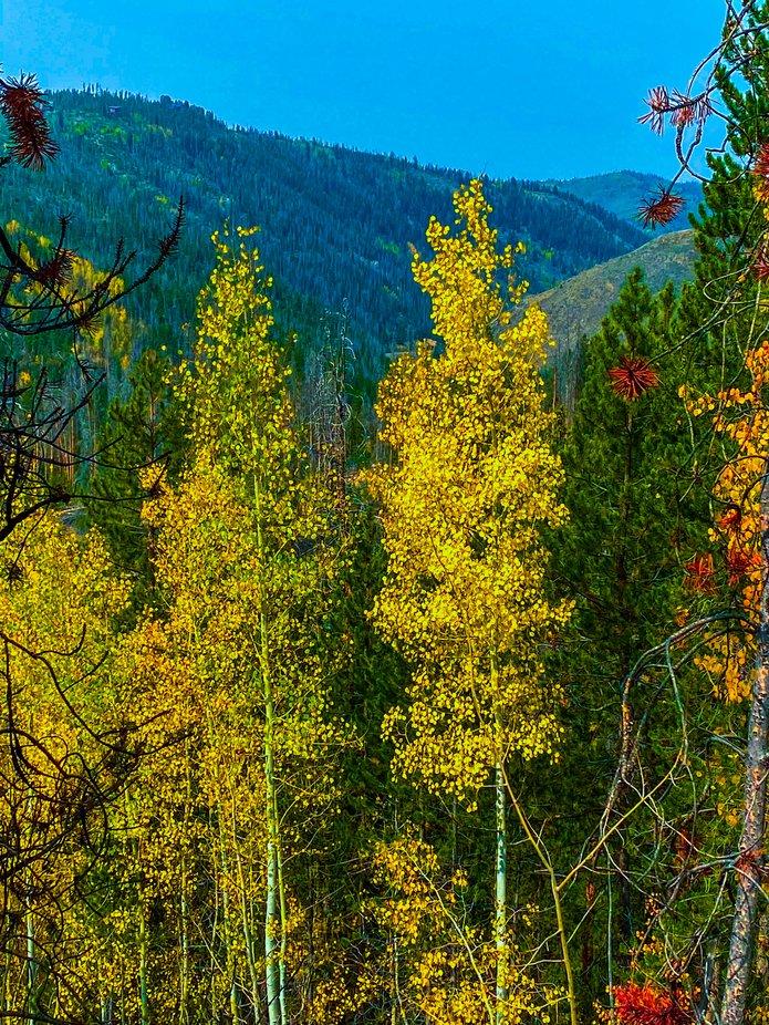 Aspens in the fall in Colorado