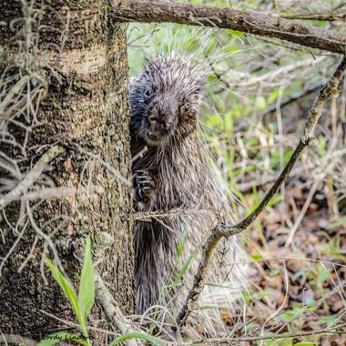 Porcupine, guess I was getting to close. Claws out and even a little tooth showing