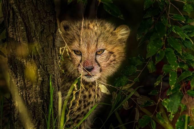 Peek A Boo ( A Cute Killer)  by WildTales - Animal Kingdom Photo Contest vol3