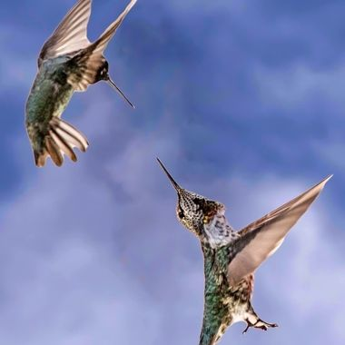 Hummingbird Acrobatics are amazing... All you pilots out there take notes. Awesome birds so fun to watch!