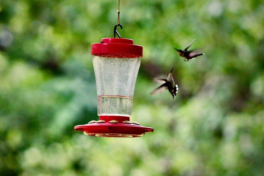 Hummingbirds fighting over the feeder.