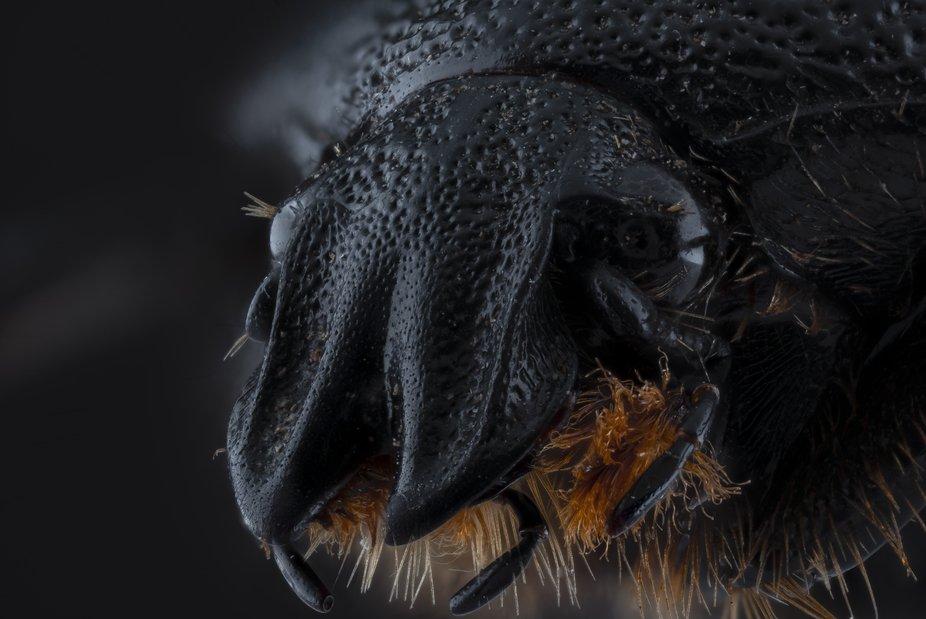 Leucocelis Rubra (Cetoniidae)