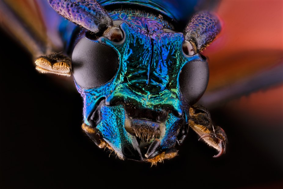 Plinthocoelium Sueveolens (Cerambycidae)