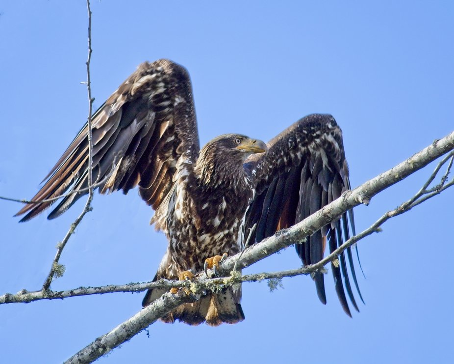 A Golden eagle ready for takeoff on the branches of a dead tree on the edge of Puget Sound in the state of Washington.