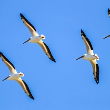 Pelicans look so graceful while floating on the air currents - Neely Ranch Riparian Preserve