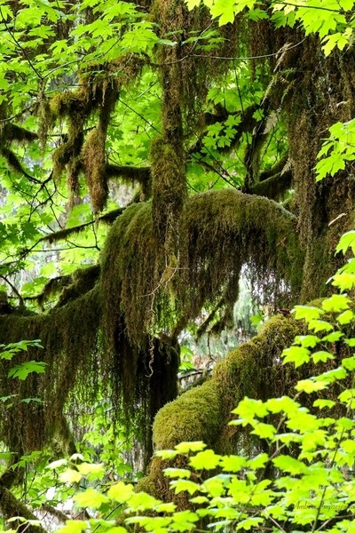 Moss covered trees in Hoh National Rainforest in the Olimpic National Park.