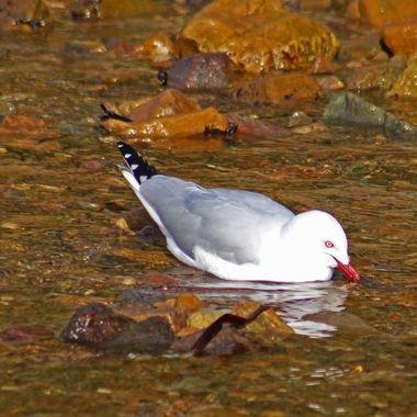 Seagull enjoying some fresh water