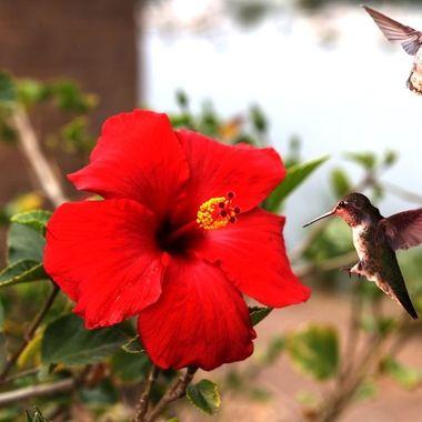 Hibiscus and Hummingbirds