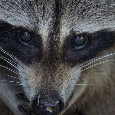 Raccoon 14-06-2021-5