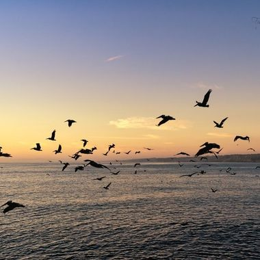 Pelicans flying to their roost