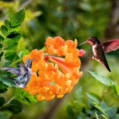 Honeysuckle and Hummingbirds