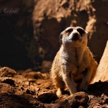 Meerkat in action in zoo