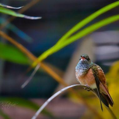 Humming bird in San Diego Zoo.