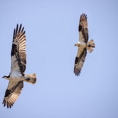 Two Osprey Hawks
