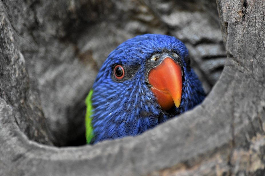 Little lorikeet playing hide and seek with me from his spot in the tree
