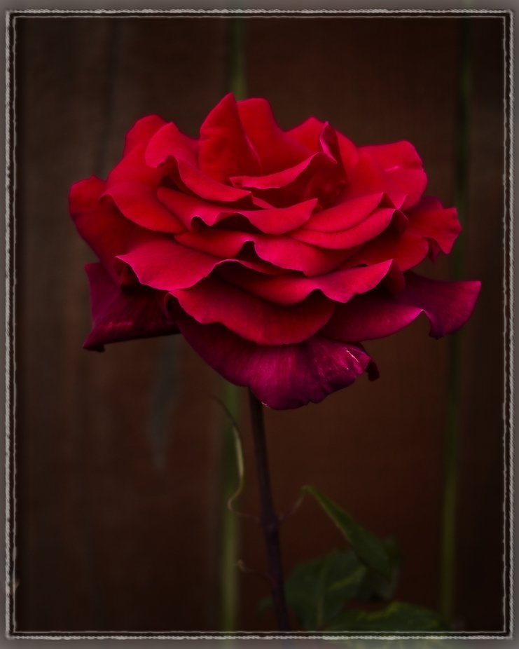 An incredible red color in the neighbor's rose garden.