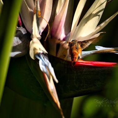 Humming bird on banana blossom