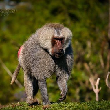 Baboon in San Diego Zoo